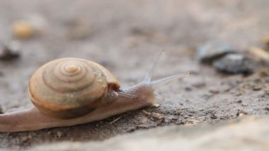 Macro, close up of moving snail.HD clip. — Stockvideo