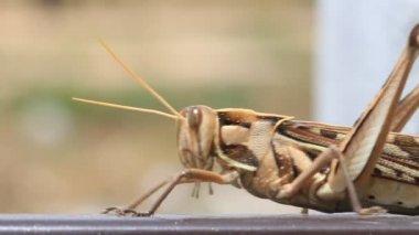 Gräshoppa promenader, makro närbild hd klipp. — Stockvideo