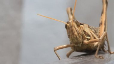 Grasshopper walking, macro closeup hd clip. — Stockvideo