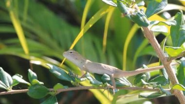 Thai lizard on tree branch.High definition clip. — Stockvideo