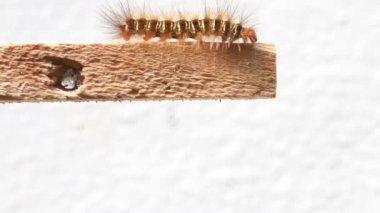 Caterpillar walking on wood stick, HD Clip. — Stock Video