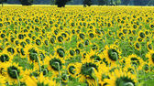 Campo di girasoli nella brezza — Foto Stock