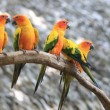 Cute Sun Conure parrot bird group on tree branch, HD Clip — Stock Video #59412147