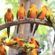 Cute Sun Conure parrot bird group on tree branch, HD Clip — Stock Video #59412463