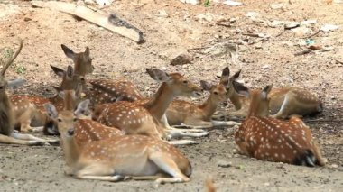 Chital, Cheetal, Spotted or Axis deer resting on ground, HD Clip — Stockvideo