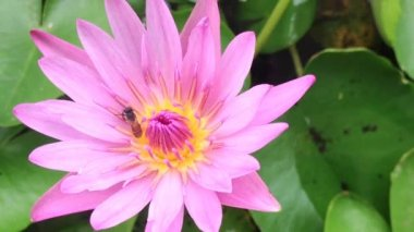 Close up, bee on pink lotus. — Stock Video