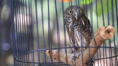 Close up  Collared owlet, Collared pygmy owl in birdcage, HD Clip. — Stock Video