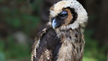 Close up big owl, green forest background, HD Clip. — Stock Video
