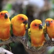 Cute Sun Conure parrot bird group on tree branch, HD Clip — Stock Video #59441113