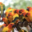 Cute Sun Conure parrot bird group on tree branch, HD Clip — Stock Video #59441281