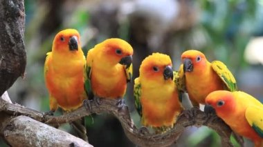 Cute Sun Conure parrot bird group on tree branch, HD Clip — 图库视频影像