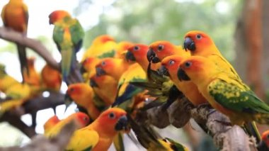 Cute Sun Conure parrot bird group on tree branch, HD Clip — Stock Video