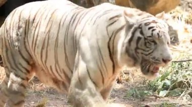 A white tiger walking prowling along a ridge — Stock Video