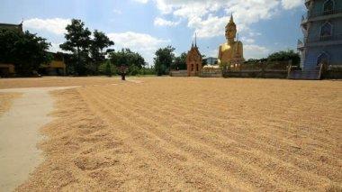 Farmer  drying rice seed on field. — ストックビデオ