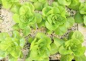 Butterhead lettuce — Stock Photo
