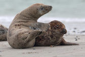 Grey Seals (Halichoerus grypus) — Stock Photo