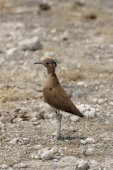 Burchell's Courser — Stock Photo
