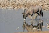 Gemsbok (Oryx gazella) — Stock Photo