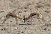 Fighting Springbok (Antidorcas marsupialis) — ストック写真
