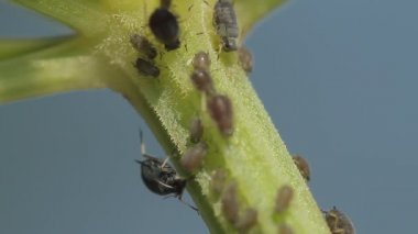1080p, Macro Of Ants And Vine Lice On Leafs — Vidéo