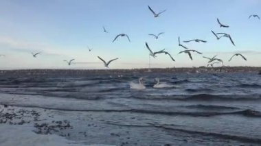 Seagulls flying over the waves of the river, many flock — Vídeo de stock