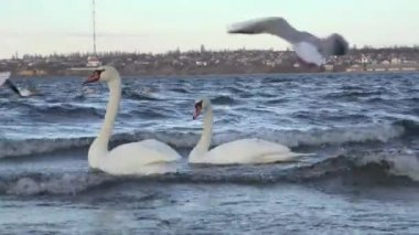 Swans feed on river bank — Stock Video
