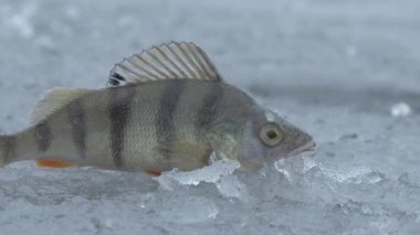 Fish big ruff on the ice of river in winter — Stock Video