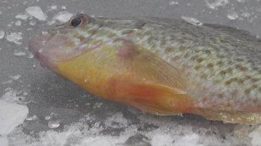冬の川の氷の上の魚大ラフ — ストックビデオ