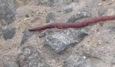 Red Earthworms crawling on the rocks macro — Stock Video