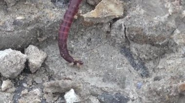 Red Earthworms crawling on the rocks macro — Vídeo de Stock