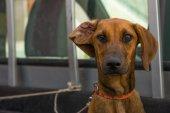 Dog.  Rhodesian Ridgeback. — Stock Photo