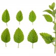 Mint - green leaves and stem, on a white background. — Stock Photo #76035457