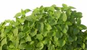 Growing mint leaves isolated on white — ストック写真