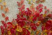 Red creeper leaves on the stone wall of a building — Stockfoto