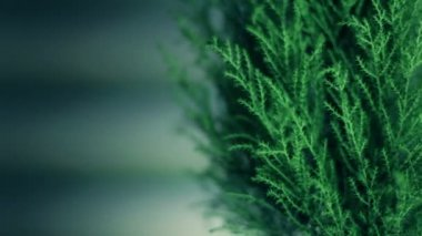 Thuja (cupressus) rotates 360 degrees. Close up, seamless — Stock Video