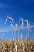 Ripe ears of rye in the field — Stock Photo