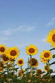 Sunflowers on blue sky — Stock Photo