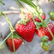 Closeup of fresh organic strawberries — Stock Photo #57227829