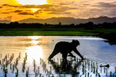 Silhouette scene of Thai farmer growing young rice in field — Stock Photo