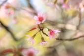 Beautiful close up cherry blossom — Stock Photo