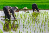 Thai farmer growing young rice in field — Stock Photo