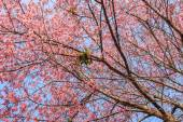 Beautiful cherry blossoms under blue sky — Foto Stock