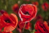 The red poppy field, beautiful nature — Stock Photo