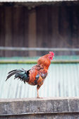 Beautiful thai Rooster — Stock Photo
