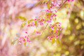 Sakura flor flor flor en pangkhon montaña chiang rai, — Foto de Stock