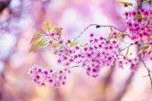 Sakura flower blooming blossom in Pangkhon mountain Chiang rai, — Stock Photo