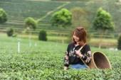 Asien vacker kvinna plocka te Bladen i en teplantage, hap — Stockfoto