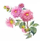 Pink Dahlias Flowers — Stock Photo