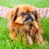 Pekingese — Stock Photo