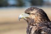 Falconry — Stock Photo